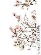 Купить «Цветущие ветки миндаля на белом фоне», фото № 33051609, снято 21 января 2020 г. (c) Tamara Kulikova / Фотобанк Лори