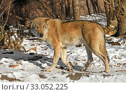 Купить «Eurasian Wolf (Canis lupus), male, runs in forest in winter», фото № 33052225, снято 8 февраля 2020 г. (c) Валерия Попова / Фотобанк Лори