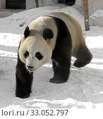 Купить «Funny Giant panda (Ailuropoda melanoleuca), also known as panda bear or simply panda, on snow», фото № 33052797, снято 8 февраля 2020 г. (c) Валерия Попова / Фотобанк Лори