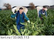 Man with special backpack gathering in crops of artichokes. Стоковое фото, фотограф Яков Филимонов / Фотобанк Лори