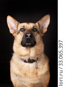 Portrait of a dog. German shepherd on a black background. Стоковое фото, фотограф Ирина Кожемякина / Фотобанк Лори