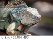 A male green iguana or american iguana with spines and dewlap a large neck bag. Стоковое фото, фотограф katalinks / Фотобанк Лори