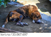Купить «Stray dog in Grenada, Eastern Caribbean. Hungry homeless dogs are common over most Caribbean islands. September 2019.», фото № 33067697, снято 17 февраля 2020 г. (c) Nature Picture Library / Фотобанк Лори