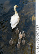 Купить «Mute swan (Mute swan (Cygnus olor) cygnets following parent swimming. London, UK. April», фото № 33067797, снято 6 августа 2020 г. (c) Nature Picture Library / Фотобанк Лори