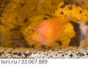 Купить «Red fish parrot», фото № 33067889, снято 7 февраля 2020 г. (c) Argument / Фотобанк Лори