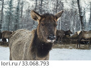 Fawn on a deer farm in winter. Стоковое фото, фотограф Евгений Харитонов / Фотобанк Лори