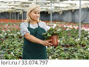 Mature female gardener choosing flowers of white cyclamen in pot. Стоковое фото, фотограф Яков Филимонов / Фотобанк Лори