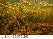 Купить «Debris of reed, other aquatic plants and wood in a small creek of the Berner Seeland, between Lake Morat and Lake Neuchatel. Close to Witzwil, Canton of... Photographed for The Freshwater Project.», фото № 33075265, снято 8 июля 2020 г. (c) Nature Picture Library / Фотобанк Лори
