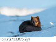 Купить «Arctic fox (Vulpes lagopus), Dovrefjell-Sunndalsfjella National Park, Norway, April.», фото № 33075289, снято 26 февраля 2020 г. (c) Nature Picture Library / Фотобанк Лори