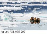 Купить «Walrus (Odobenus rosmarus) group hauled out on ice, Svalbard, Norway, August.», фото № 33075297, снято 22 февраля 2020 г. (c) Nature Picture Library / Фотобанк Лори