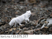 Купить «Arctic fox (Alopex lagopus), Svalbard, Norway, September.», фото № 33075317, снято 23 февраля 2020 г. (c) Nature Picture Library / Фотобанк Лори