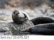 Купить «Common seal (Phoca vitulina), Svalbard, Norway, July.», фото № 33075321, снято 23 февраля 2020 г. (c) Nature Picture Library / Фотобанк Лори