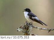 Купить «Pied Flycatcher (Ficedula hypoleuca) male calling, Trondelag, Norway, May.», фото № 33075353, снято 20 февраля 2020 г. (c) Nature Picture Library / Фотобанк Лори
