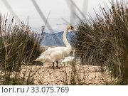 Купить «Whooper swan in natural habitat. Swans are birds of the family Anatidae within the genus Cygnus», фото № 33075769, снято 15 июля 2019 г. (c) Matej Kastelic / Фотобанк Лори