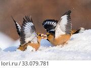 Купить «Hawfinch (Coccothraustes coccothraustes) fighting in snow, Bulgaria», фото № 33079781, снято 20 февраля 2020 г. (c) Nature Picture Library / Фотобанк Лори