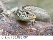 sand lizard. Стоковое фото, фотограф Wilfried Martin / PantherMedia / Фотобанк Лори
