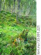 Купить «Birch forest, Craigellachie Nationwide Nature reserve, Scotland», фото № 33091221, снято 7 апреля 2020 г. (c) age Fotostock / Фотобанк Лори