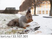 Рыжая белка ест семечки на фоне снега (2019 год). Редакционное фото, фотограф Литвяк Игорь / Фотобанк Лори