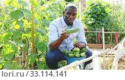 Купить «Satisfied african-american man harvesting cucumbers in a bucket», видеоролик № 33114141, снято 21 февраля 2020 г. (c) Яков Филимонов / Фотобанк Лори