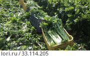 Купить «Closeup of freshly harvested green celery on plantation in sunny day», видеоролик № 33114205, снято 27 января 2020 г. (c) Яков Филимонов / Фотобанк Лори
