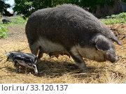 Купить «mangaliza with cub», фото № 33120137, снято 15 июля 2020 г. (c) PantherMedia / Фотобанк Лори