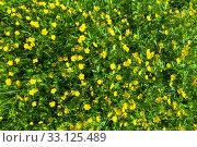 Купить «Ranunculus acris (Meadow buttercup, Tall buttercup) yellow flowers», фото № 33125489, снято 19 февраля 2020 г. (c) PantherMedia / Фотобанк Лори
