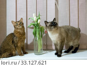 Купить «Thai Shorthair seal point Bobtail and red fluffy Somali breed young cats playing with a flower in a vase», фото № 33127621, снято 9 марта 2019 г. (c) Куликов Константин / Фотобанк Лори