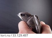 Купить «Baby bird in my hand», фото № 33129497, снято 1 июня 2020 г. (c) PantherMedia / Фотобанк Лори