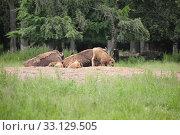 Wisent (Europäisches Bison) Стоковое фото, фотограф arvidas saladauskas / PantherMedia / Фотобанк Лори