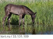 foals in the wetland of menorca. Стоковое фото, фотограф Elke Münzel / PantherMedia / Фотобанк Лори