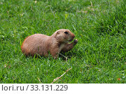 Купить «prairie dog rodent eating grass», фото № 33131229, снято 2 июня 2020 г. (c) PantherMedia / Фотобанк Лори