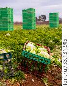 Купить «Crop of curly endive in plastic crates», фото № 33131905, снято 26 февраля 2020 г. (c) Яков Филимонов / Фотобанк Лори