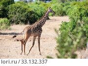 Купить «giraffe in the national park masai mara», фото № 33132337, снято 13 июля 2020 г. (c) PantherMedia / Фотобанк Лори