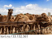 Camels on the farm begging for food from tourists (2019 год). Стоковое фото, фотограф Наталья Волкова / Фотобанк Лори