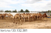 Herd of one-humped camels in a pen on a camel farm in the Negev desert in Israel. Стоковое видео, видеограф Наталья Волкова / Фотобанк Лори