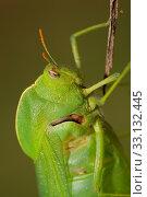 Купить «Bladder grasshopper», фото № 33132445, снято 31 марта 2020 г. (c) PantherMedia / Фотобанк Лори