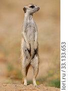 Купить «Alert meerkat», фото № 33133653, снято 5 августа 2020 г. (c) PantherMedia / Фотобанк Лори