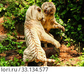 Купить «battle of two white tigers», фото № 33134577, снято 20 февраля 2020 г. (c) PantherMedia / Фотобанк Лори