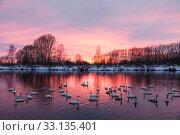 Купить «Sunset on the Svetloye lake, where wild whooper swans winter. Altai territory, Russia», фото № 33135401, снято 24 января 2020 г. (c) Наталья Волкова / Фотобанк Лори