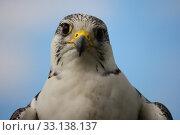 Купить «A beautiful white arctic hawk raptor bird», фото № 33138137, снято 4 августа 2020 г. (c) PantherMedia / Фотобанк Лори