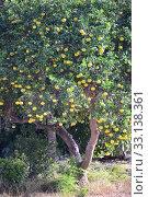 ORANGE - APFELSINEN AM BAUM - SPAIN. Стоковое фото, фотограф Ernesto Rosé / PantherMedia / Фотобанк Лори