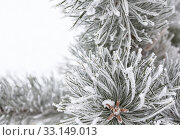 Купить «Coniferous branches covered with hoarfrost», фото № 33149013, снято 13 июля 2020 г. (c) PantherMedia / Фотобанк Лори