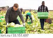 Horticulturist arranging green leaf lettuce in crates. Стоковое фото, фотограф Яков Филимонов / Фотобанк Лори