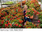 Купить «Female florist cultivating Begonia Semperflorens», фото № 33160553, снято 6 августа 2020 г. (c) Яков Филимонов / Фотобанк Лори