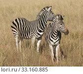 Купить «zebra in the savanna», фото № 33160885, снято 6 июля 2020 г. (c) PantherMedia / Фотобанк Лори