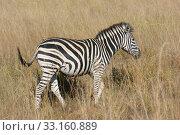 Купить «zebra in the savanna», фото № 33160889, снято 6 июля 2020 г. (c) PantherMedia / Фотобанк Лори
