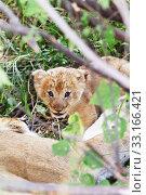 Купить «Lion cub, Masai Mara,Lion cub, Masai Mara,Lion cub, Masai Mara,Lion cub, Masai Mara», фото № 33166421, снято 29 мая 2020 г. (c) PantherMedia / Фотобанк Лори