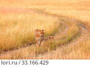 Купить «Female lion with cubs in Masai Mara,Female lion with cubs in Masai Mara», фото № 33166429, снято 21 февраля 2020 г. (c) PantherMedia / Фотобанк Лори