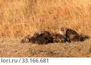 Купить «Spotted Hyenas, Masai Mara,Spotted Hyenas, Masai Mara,Spotted Hyenas, Masai Mara,Spotted Hyenas, Masai Mara», фото № 33166681, снято 29 мая 2020 г. (c) PantherMedia / Фотобанк Лори