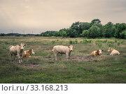 Купить «Cattle on a field in cloudy weather», фото № 33168213, снято 22 февраля 2020 г. (c) PantherMedia / Фотобанк Лори